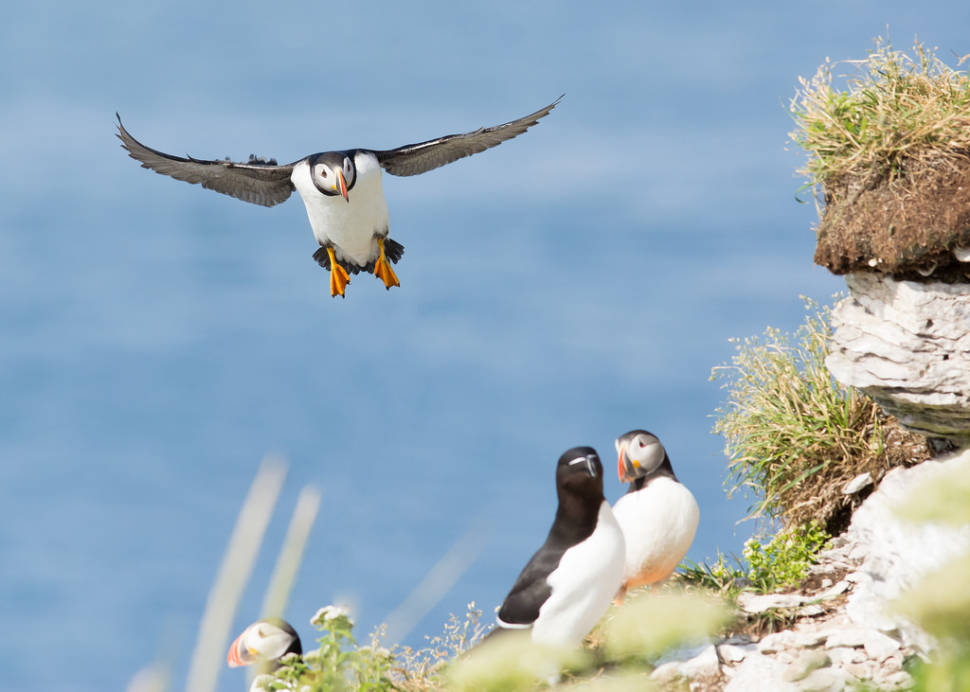 Atlantic Puffins in Quebec - Best Season