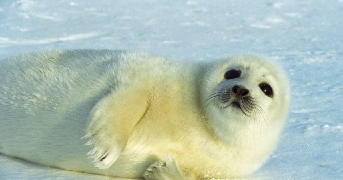 Baby Seals in Quebec - Best Time