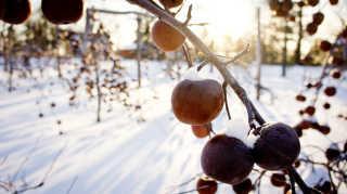 Ice Cider Apple Picking