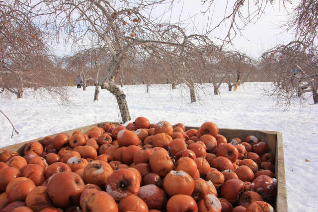 Ice Cider Apple Picking in Quebec - Best Season