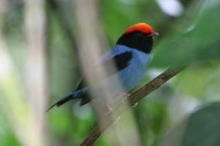 Blue Manakin Mating Dance Watching
