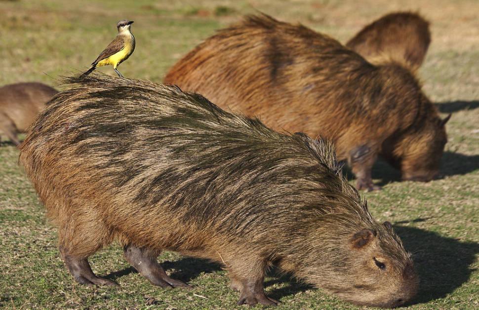 Capybara Watching (Breeding Season) in Rio de Janeiro - Best Season