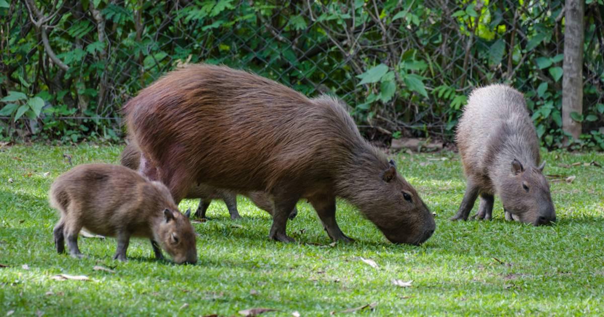 Capybara Watching (Breeding Season) in Rio de Janeiro - Best Time