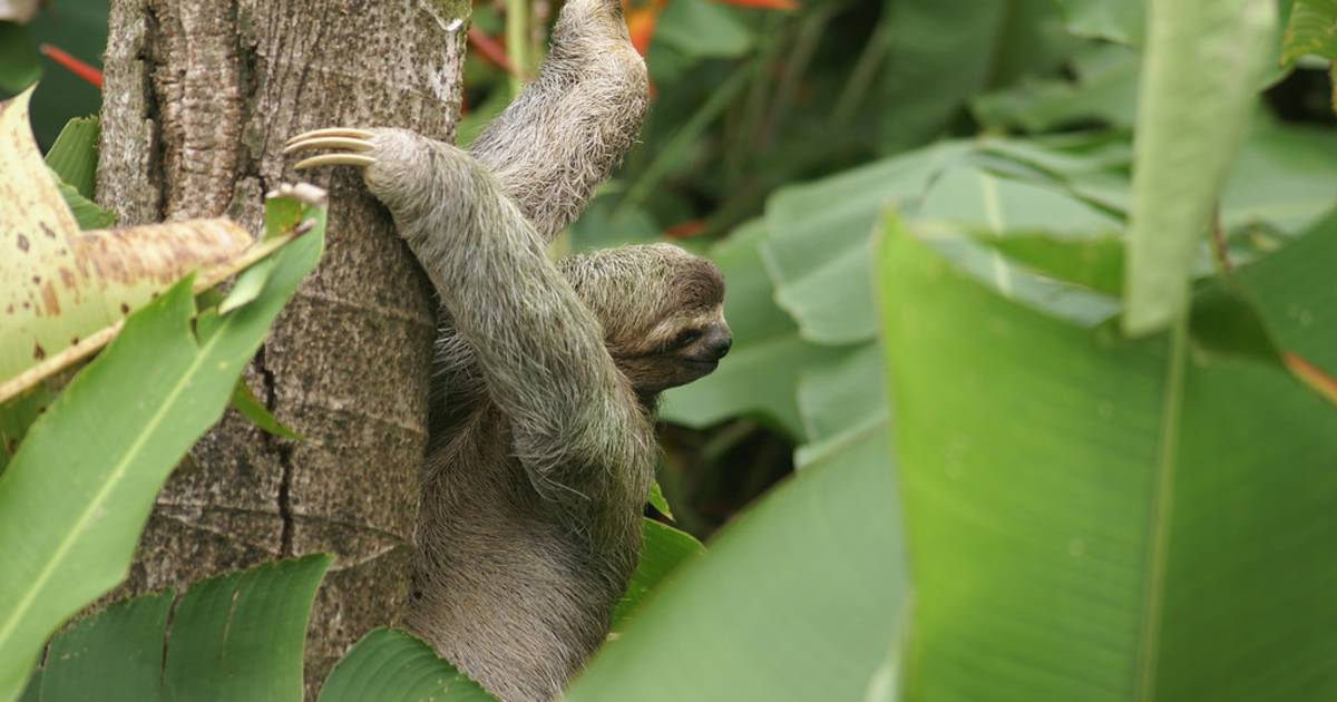 Three-Toed Sloth Mating Season in Rio de Janeiro - Best Time