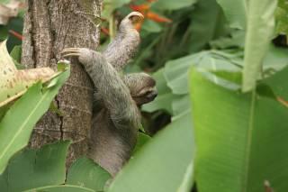 Three-Toed Sloth Mating Season