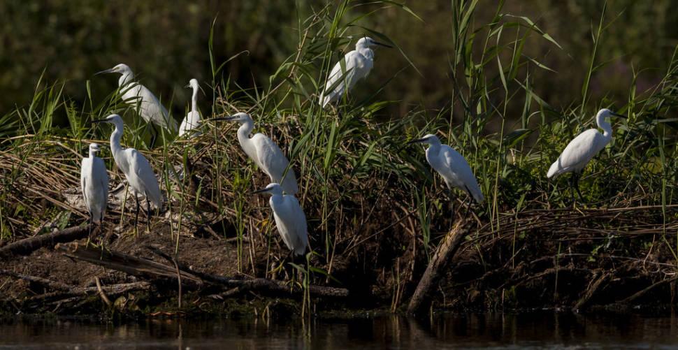 Great White Egrets of the Danube Delta