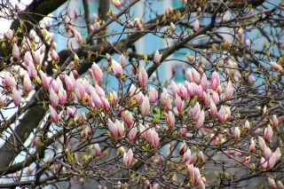 Magnolias in Bucharest