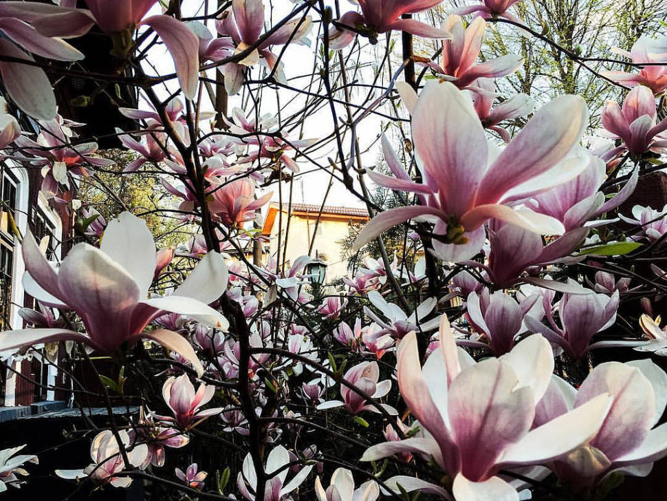 Best time for Magnolias in Bucharest in Romania