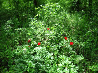 Peonies in the Comana Forest