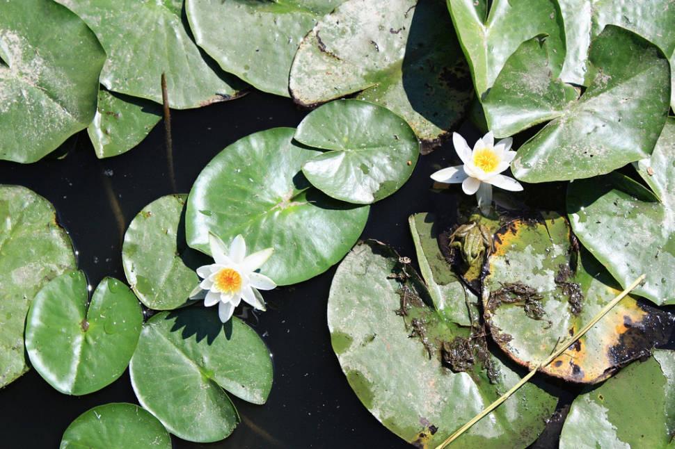 Water Lilies in Romania - Best Season