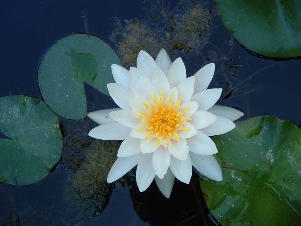 Water Lilies in Romania - Best Time