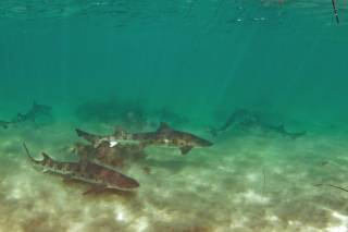 Snorkeling with Leopard Sharks at La Jolla