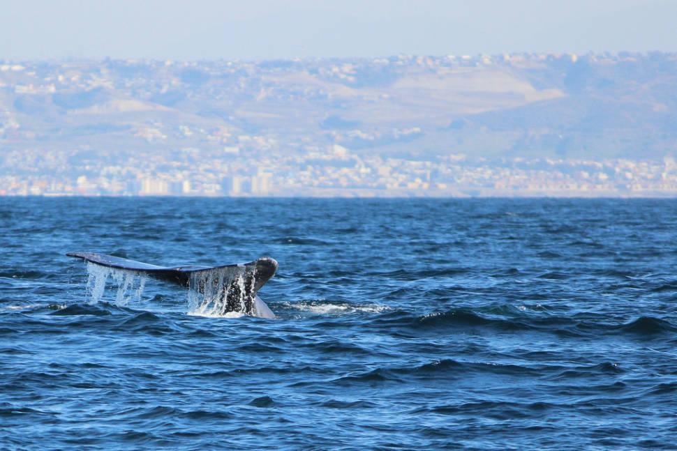 Gray whales off San Diego & Tijuana