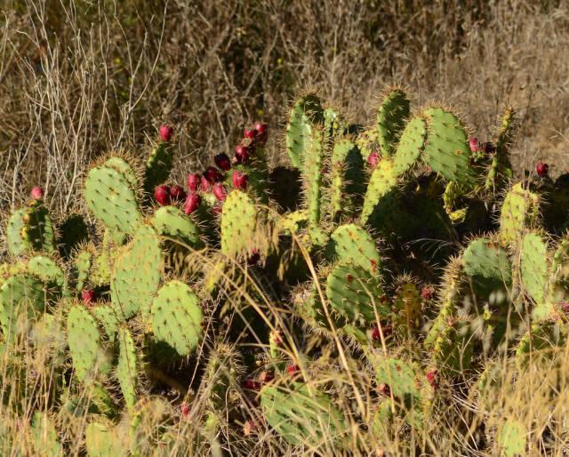 Cactus Pear in San Francisco - Best Season