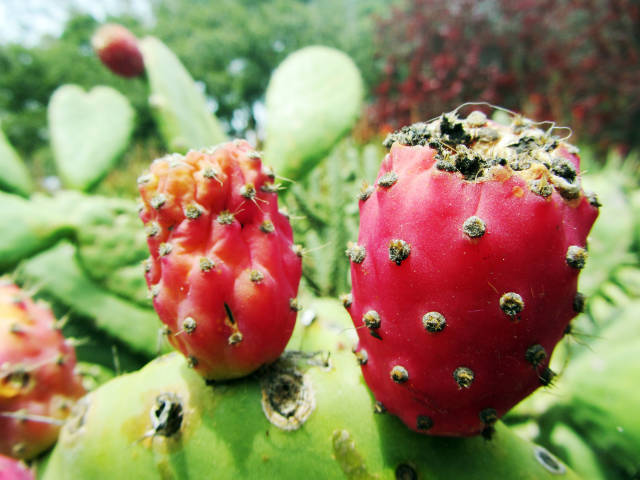Cactus Pear in San Francisco - Best Time