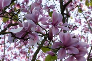 Magnolias in San Francisco Botanical Garden
