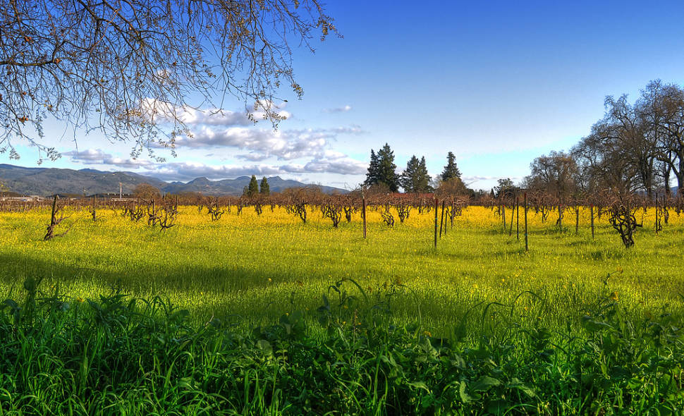 Napa vineyard with mustard flowers