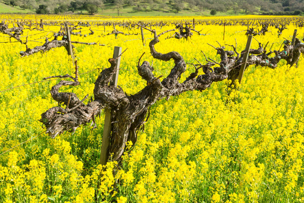 Mustard Bloom in Vineyards in San Francisco - Best Season