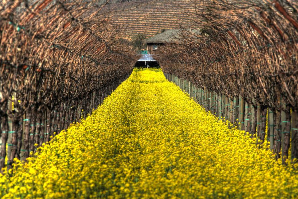 Mustard Bloom in Vineyards in San Francisco - Best Time