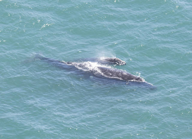 Gray whale mother and calf  at Point Reyes Lighthouse