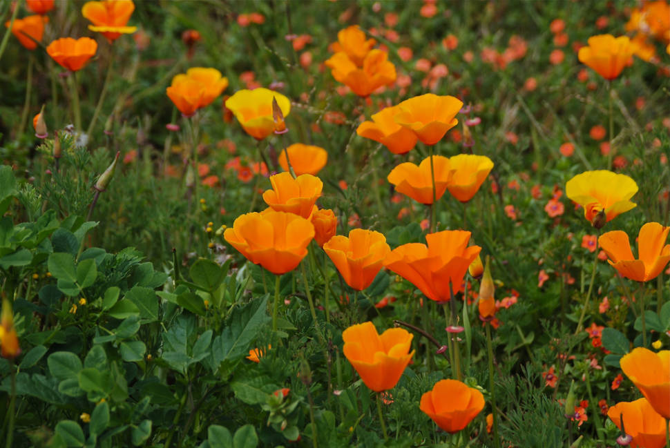 Best time for spring flowers in san francisco 2018 rove california poppies mightylinksfo