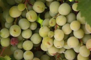 Wine Making Season