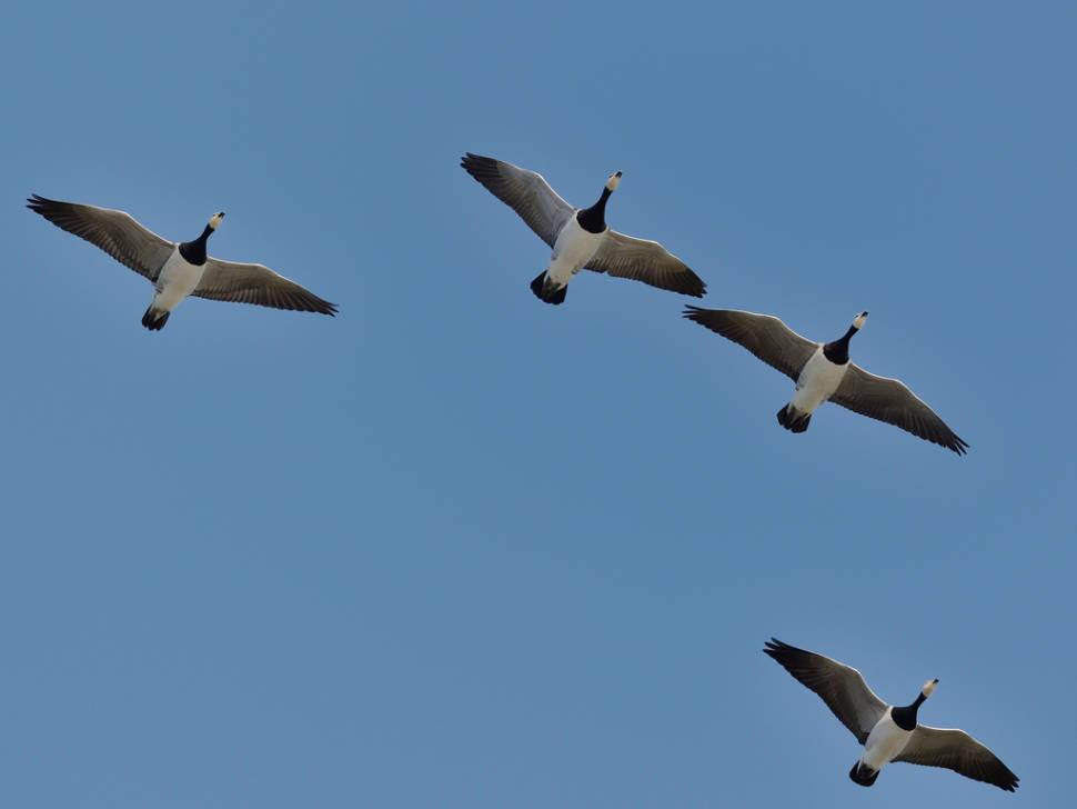 Barnacle Geese in Scotland - Best Season