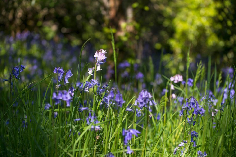 Best time for Blooming Bluebells in Scotland