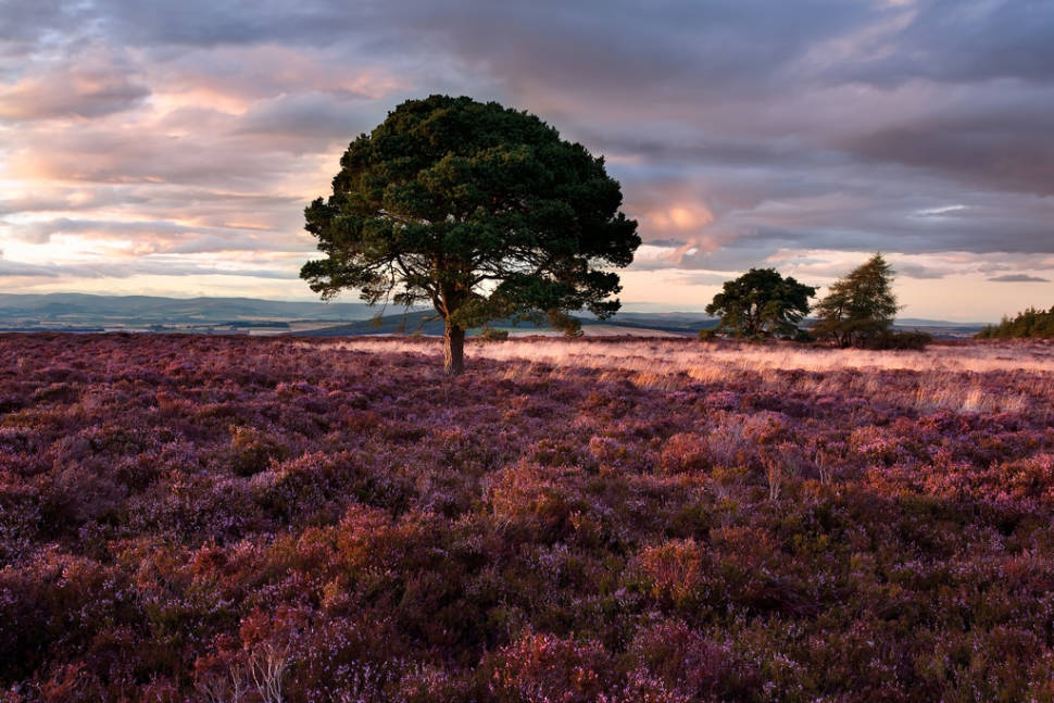 Pine Trees and Heather around Sidlaw Hills, Angus