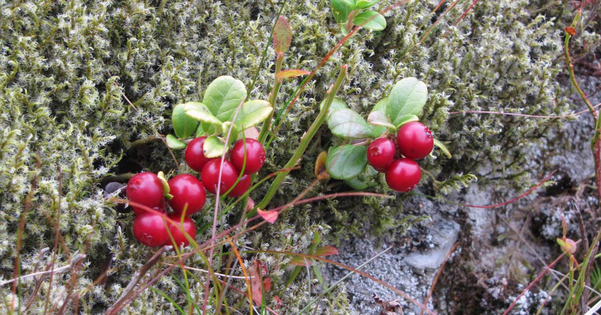 Cranberries in Scotland - Best Time