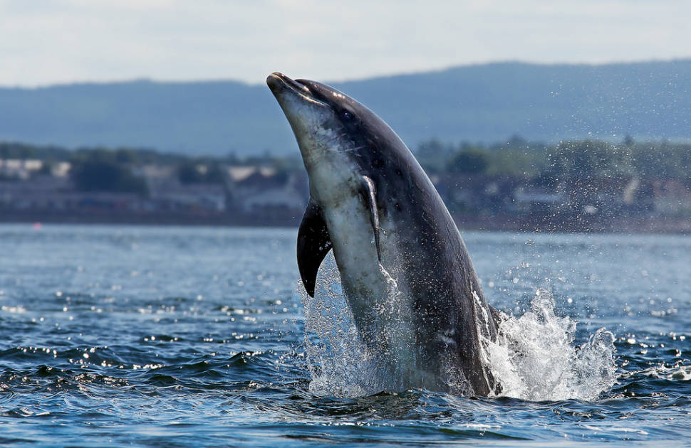 Dolphin at Chanonry point, Scotland