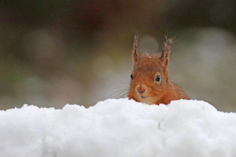Red Squirrels in Scotland - Best Season