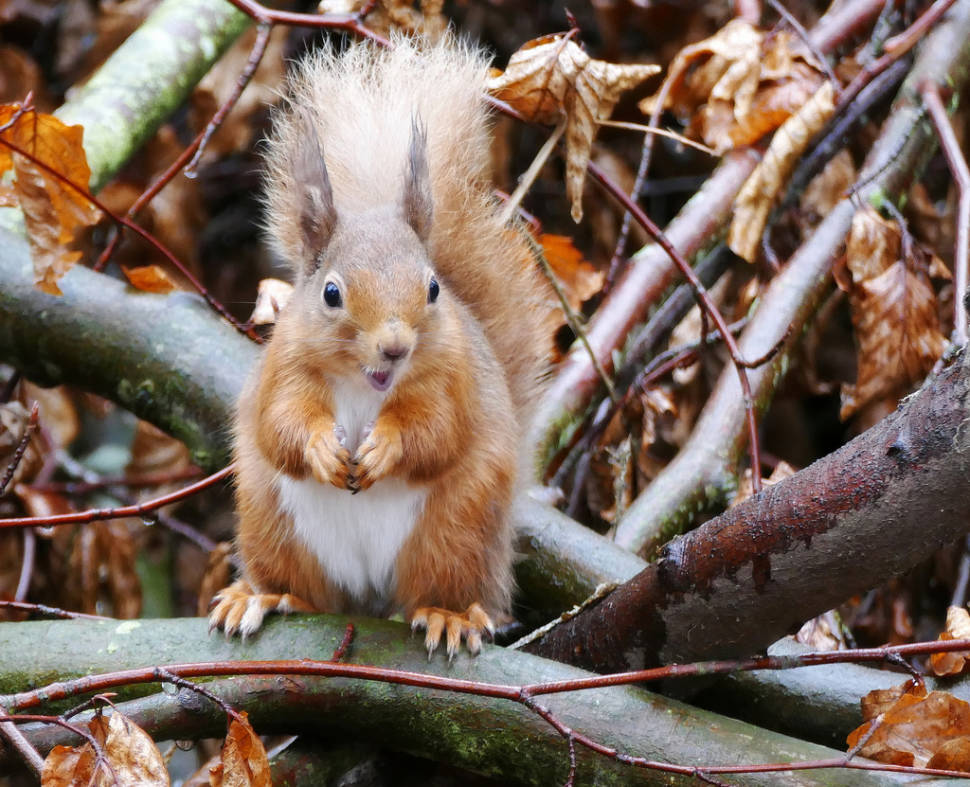 Best time for Red Squirrels in Scotland