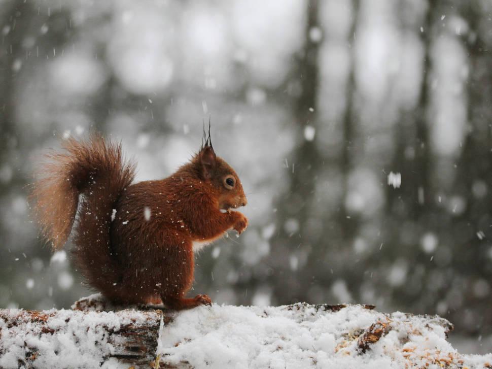 Red Squirrels in Scotland - Best Time
