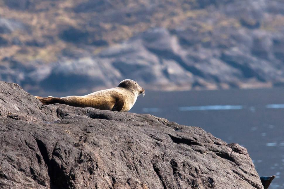 Baby seal at the Isle of Skye