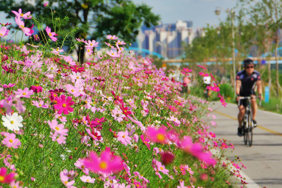 Best time to see Cosmos Blooming in Seoul