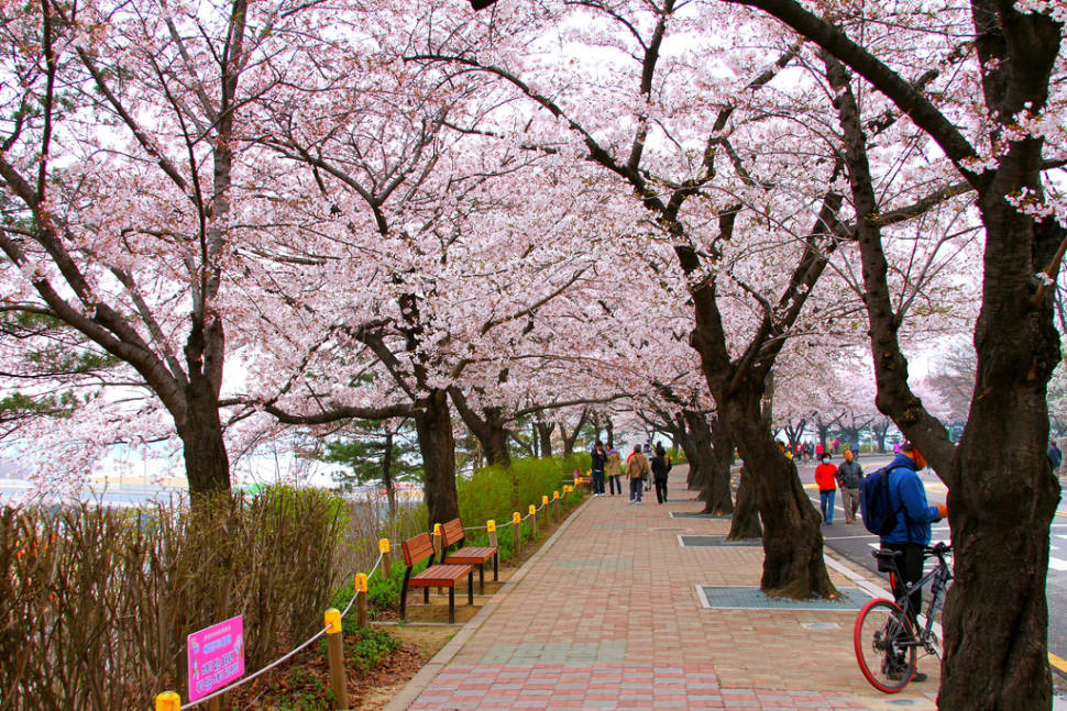 Best time for Hangang Yeouido Spring Flower Festival in Seoul
