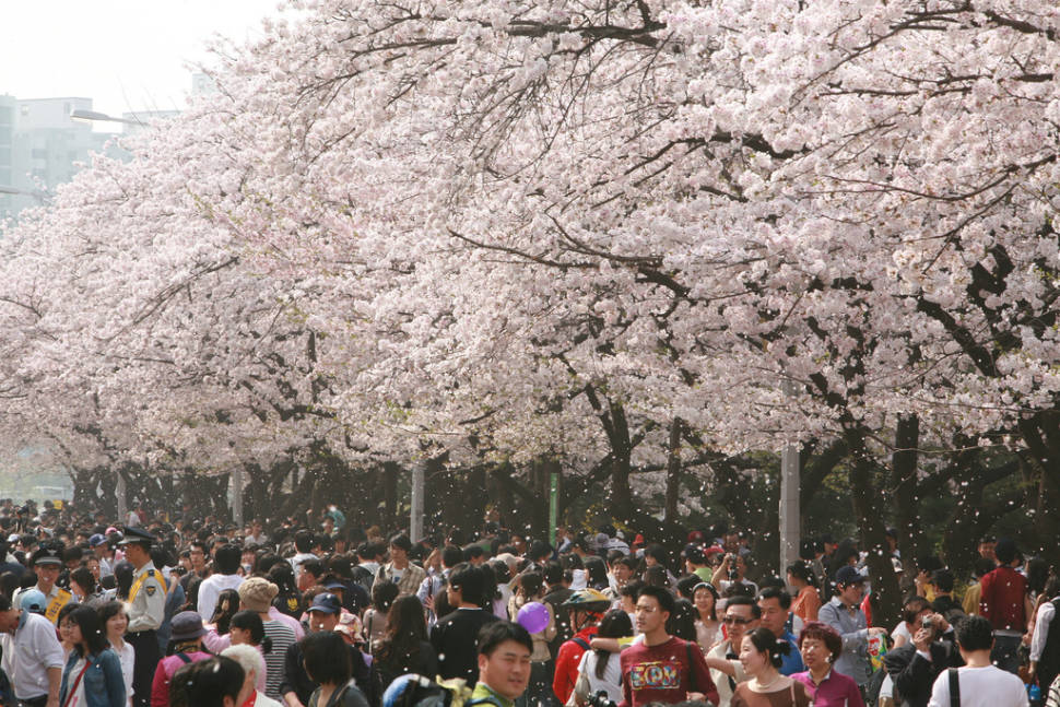 Hangang Yeouido Spring Flower Festival in Seoul - Best Time