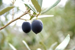 Olive Harvest and Olive Oil