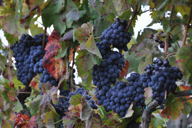 Grape Harvest in Sicily - Best Time