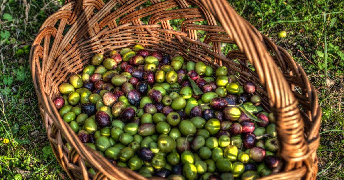 Olive Harvest in Slovenia - Best Time