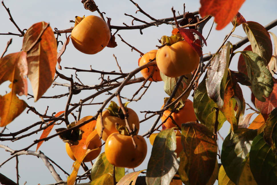 Best time for Persimmon Season in Slovenia