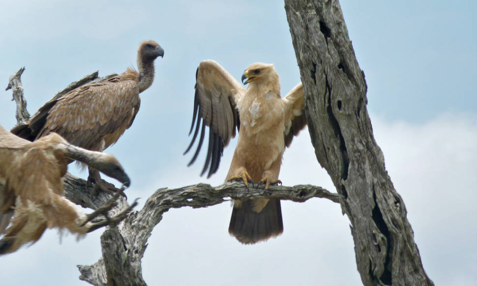 Tawny eagle and White-backed vultures