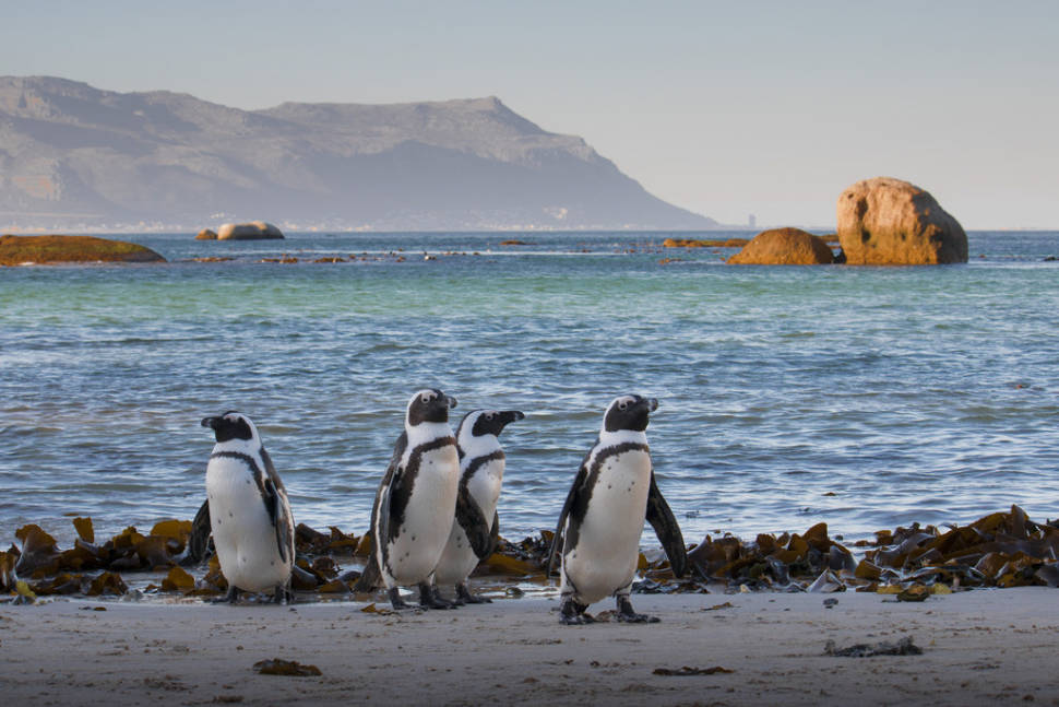 African penguins on the beach in Simonstown, Western Cape