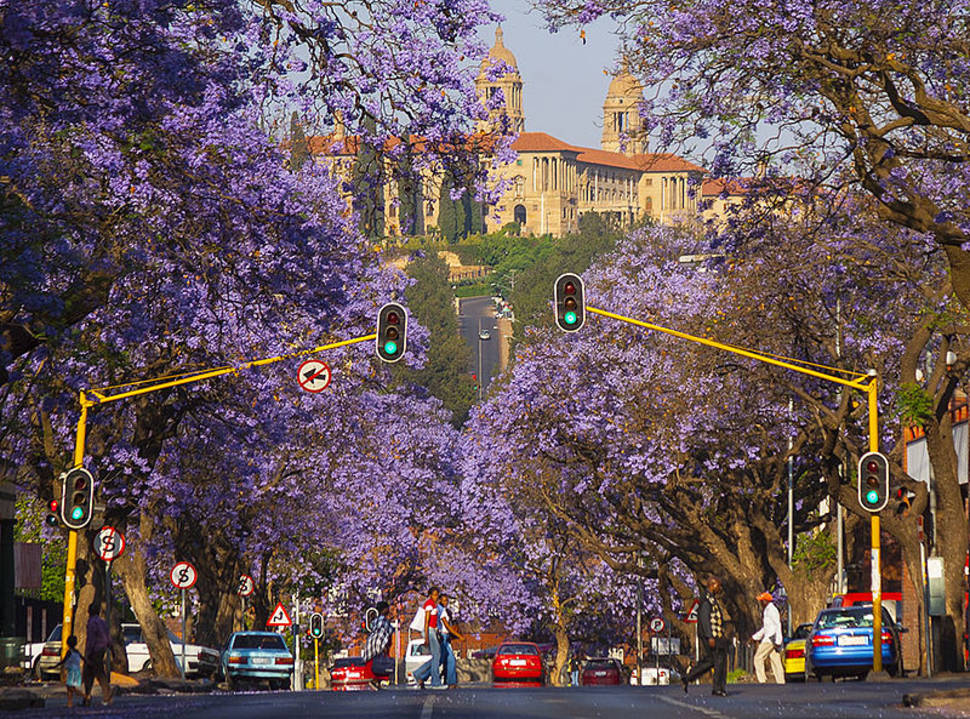 Jacarandas in Pretoria in South Africa - Best Season
