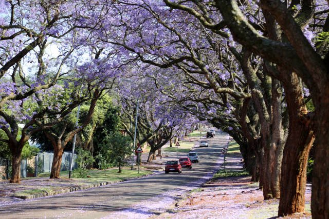Best time for Jacarandas in Pretoria in South Africa