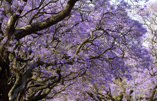 Jacarandas in Pretoria in South Africa - Best Time