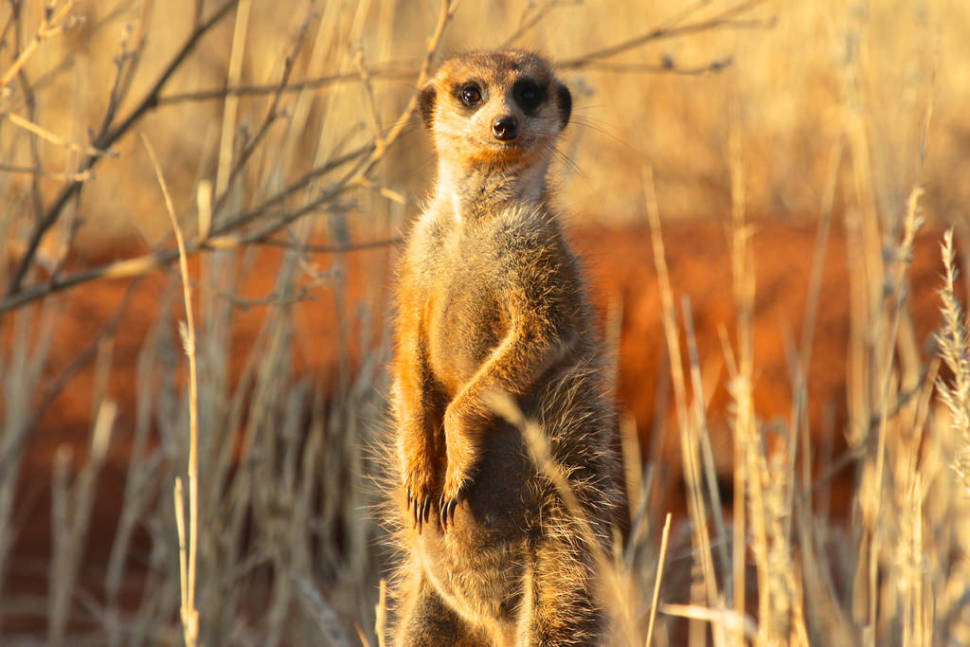 Best time to see Meerkat Wonder at Sunrise in South Africa