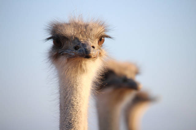 Oudtshoorn Ostriches in South Africa - Best Season