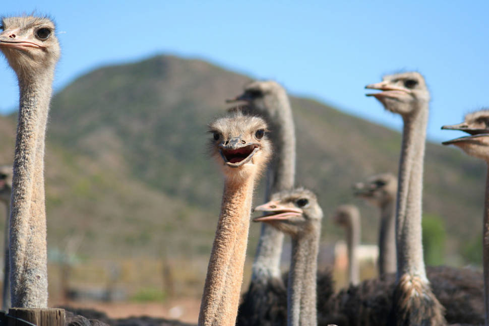 Oudtshoorn Ostriches in South Africa - Best Time